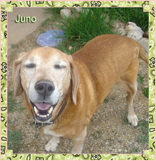 "Juno is Jean's red hound-dog mix. He's nicknamed ""The King of Taos"" because on his first trip to the ""enchanted"" town he was allowed to eat on a restaurant patio with Jean and her friend: and the wait staff treated him like a king! He's a trusted, loyal companion, winning the hearts of all who meet him."