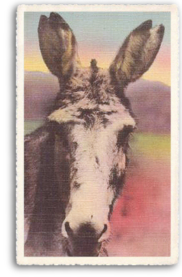 A closeup portrait of one of the most beloved farm animals still found in and around Taos, New Mexico: the burro (or donkey).